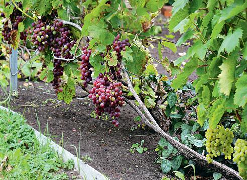 На фото: Виноград при кордонной формировке Беликовой