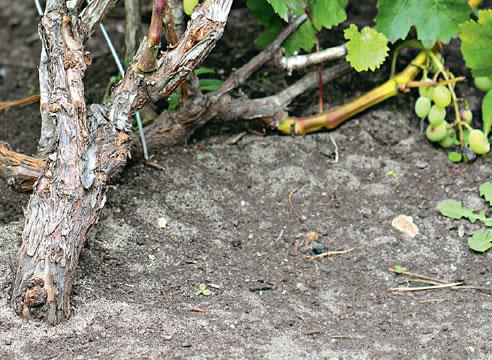 На фото: Взрослый куст винограда, сформированный по Беликовой