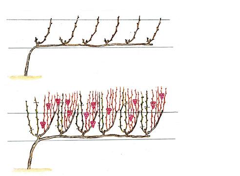 На фото: Развитие виноградной лозы при кордонной формировке
