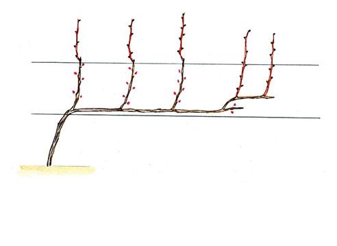 На фото: Виноград, сформированный по Беликовой на 5-й год