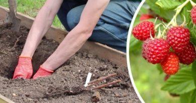 Пересаживая малину, чтобы вырастить больше фруктов или поделиться с другими