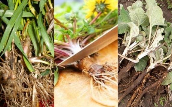 Корень лопуха: скрытая сила сорняка