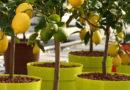 Руководство по лимонному дереву: Как выращивать и ухаживать за лимонными деревьями
