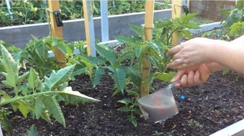 Поливаем правильно помидоры в теплице: частота методы и правила